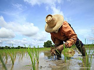 Zemědělec na rýžovém poli (Malajsie)