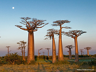 Madagaskar, čtvrtý největší ostrov na světě se vyznačuje rozmanitostí biologických druhů. Problém je tu s kácením hustých lesů, po nich pak zbude jen baobabová alej. Baobaby jsou ceněny pro své plody i kůru. Skoro devadesát procent fauny a flóry na tomto ostrově je naprosto unikátní na celém...