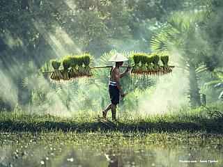 Rolník na rýžovém poli (Kambodža)