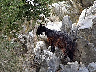 Planina Lasithi je největší plošinou na celé Krétě, její rozloha činí celých šedesát metrů čtverečních a jde doslova a do písmene o nádherně romantické místo uprostřed hor. Zdejší oblast je proslulá i tím, že šlo o centrum odporu – nejprve proti nadvládě Benátčanů a později i Osmanů. I když je...