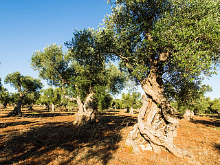Chcete olivovník na chorvatské Istrii? (Reklamní sdělení)