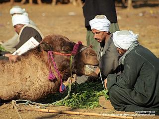 Birqáš - na velbloudím trhu (Egypt)